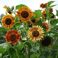 Sunflower Evening Sun Seed