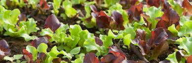 Lettuce Hart's Special Mix Seed