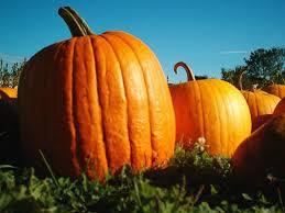 Pumpkin Howden Organic Seed