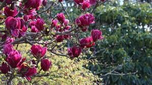 Magnolia 'Genie' 15 gal