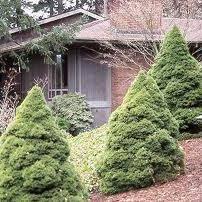 Picea glauca 'Dwarf'  3 gal