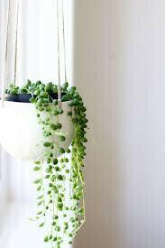 String of Pearls Hanging Basket 4.5