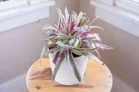 Oyster Plant 4.5