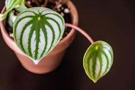 Watermelon Peperomia 4.5
