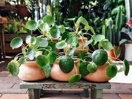 Chinese Money Plant Pilea Hanging Basket 6