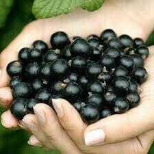 Ribes spp. 'Gooseberry'