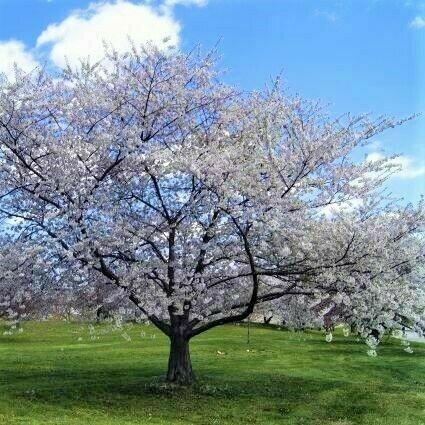 Prunus avium 'Bing'