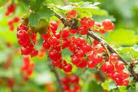Ribes rubrum 'Red Lake'