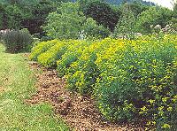 Ruta graveolens Organic