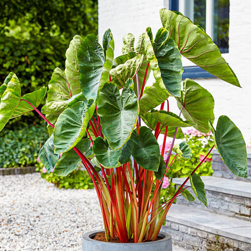 Elephant Ear 'Hawaiian Punch' 1 Bulb