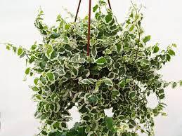 """Creeping Fig Vine Hanging Basket 4.5"""""""
