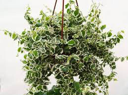 Creeping Fig Vine Hanging Basket 4.5