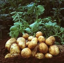 Potato 'German Butterball' Bulbs