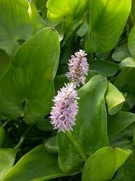 Pontederia cordata 'Lavender Pink'