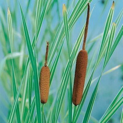 Typha latifola 'Variegata' 1 gal