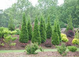 Thuja occidentalis 'North Pole' 7 gal
