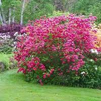 Rhododendron 'Nova Zembla' 3 gal