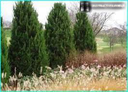 Juniperus communis 'Gnom' 5 gal