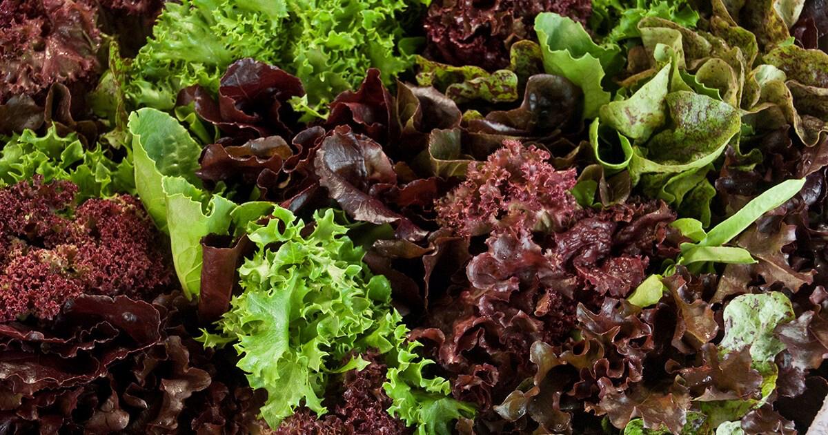 """Lettuce city garden 4.5"""""""