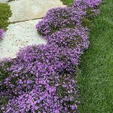 "Phlox ""Purple Beauty"" 1 gal."