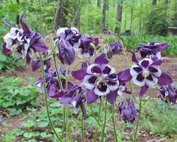 Columbine aquilegia winky purple and white 1 gal.
