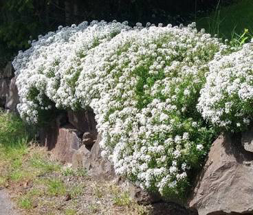 Candytuft Snowflake 1 gal.