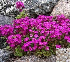 Rock Cress Arabis spring charm 1 gal.