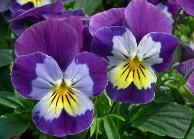 Pansy Market Pack