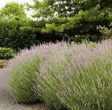 Lavender Provence Organic 1 pint