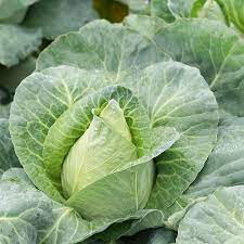 Cabbage  Caraflex Organic 6 pack