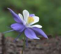 Columbine aquilegia chrysantha songbird 1 gal.