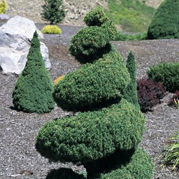 Picea 'Dwarf Alberta Spruce' Spiral 15 gal 5'