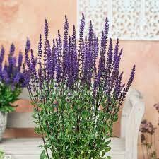 Salvia Nemerosa 'Caradonna' - 2 Gallon