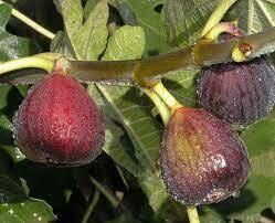 Fig - Ficus Carica 'Italian Everbearing' 3 gal