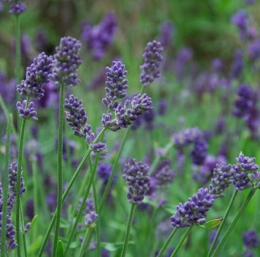 Lavender 'Provence' 1 gal.
