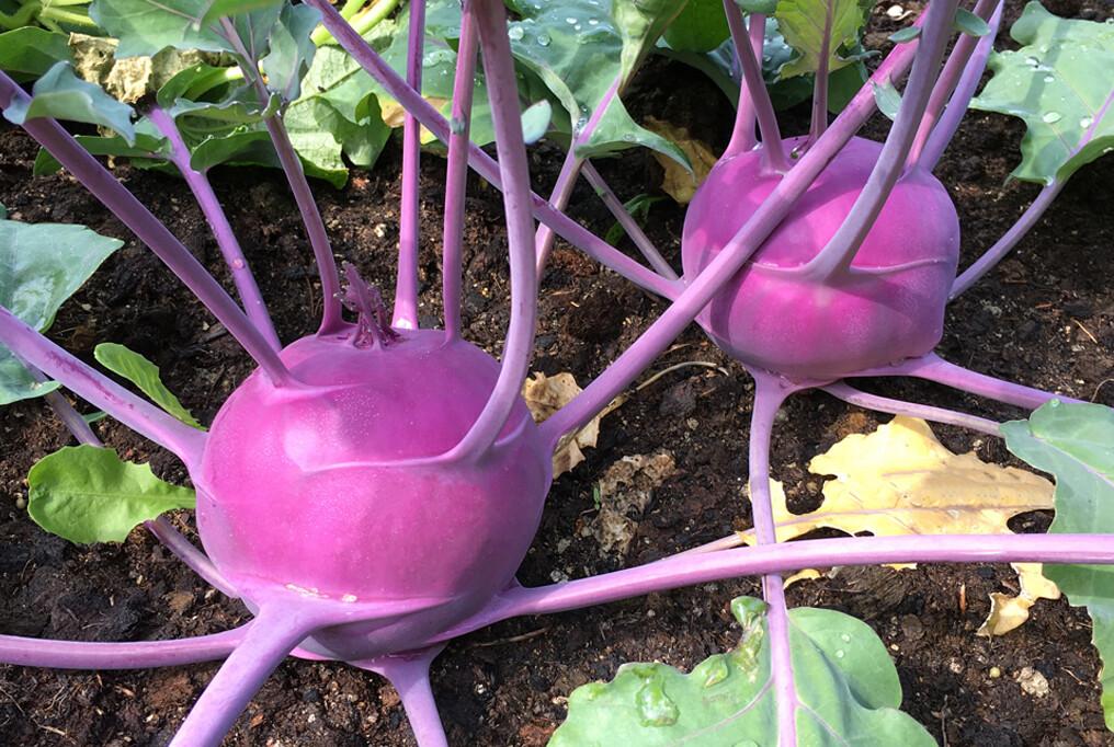 Kohlrabi Kossak Purple Organic 6-pack