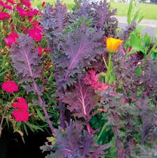 Kale Russian Red Organic 6 pack