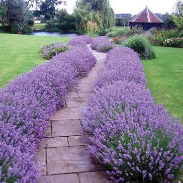 Lavender 'Hidcote' 1 gal.