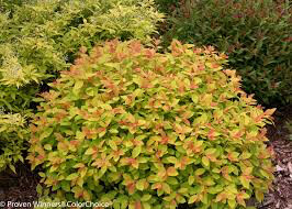 Spirea Double Play 'Gold' 3 gal.