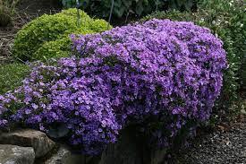 Phlox Purple Beauty 1 gal.