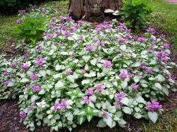 Lamium m Red Nancy 1gal.