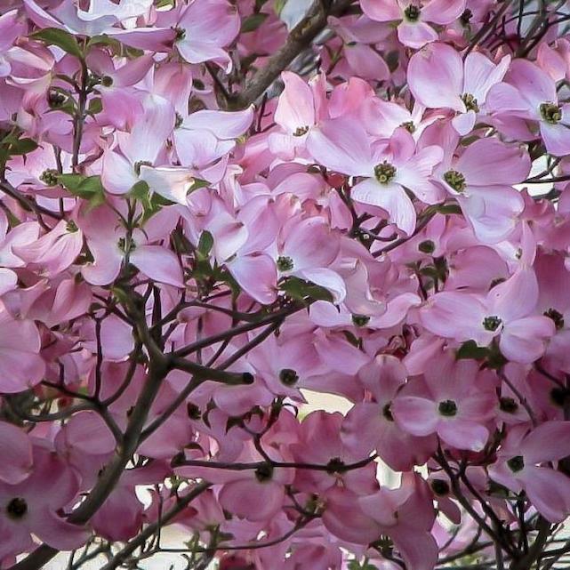 Cornus x 'Rutgers Steller pink' 25 gal