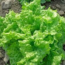 Lettuce Green Black Seeded Simpson Organic 6-Pack