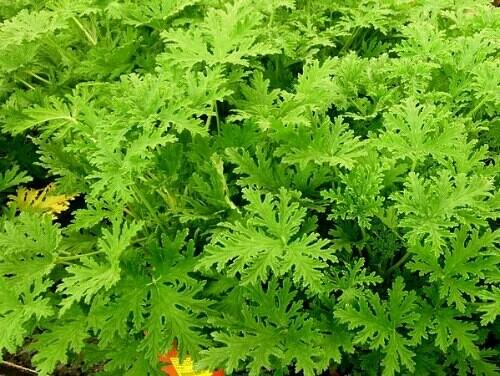 Scented Geranium 'Citrosa' Mosquito Plant Organic
