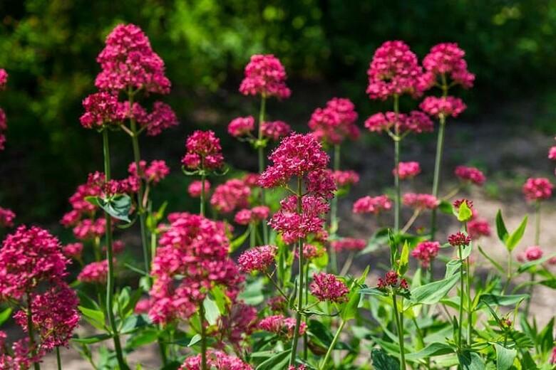 Red Valerian Organic