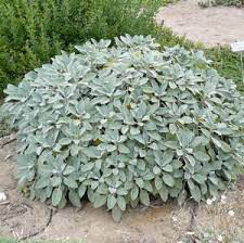 Sage Berggarten Organic