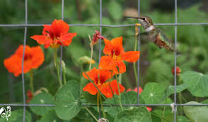 Nasturtium Empress of India Organic