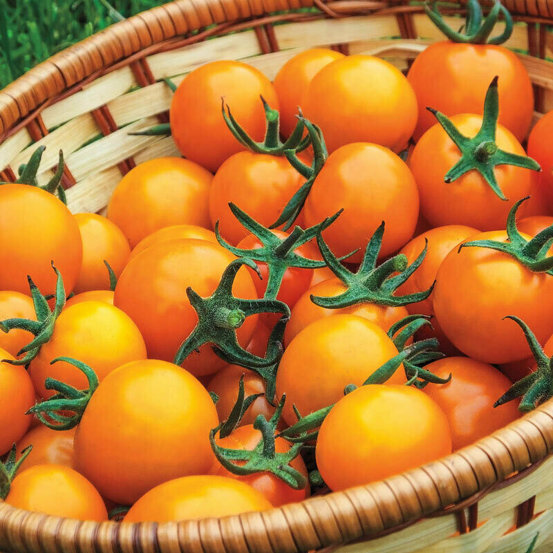 Tomato 'Sungold' Cherrry