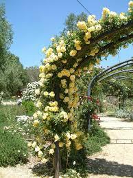 Rosa 'Golden Showers' Climbing