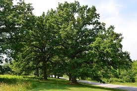 Quercus Bicolor White Oak